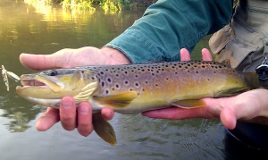 "17"" Coon Creek Brown Trout"