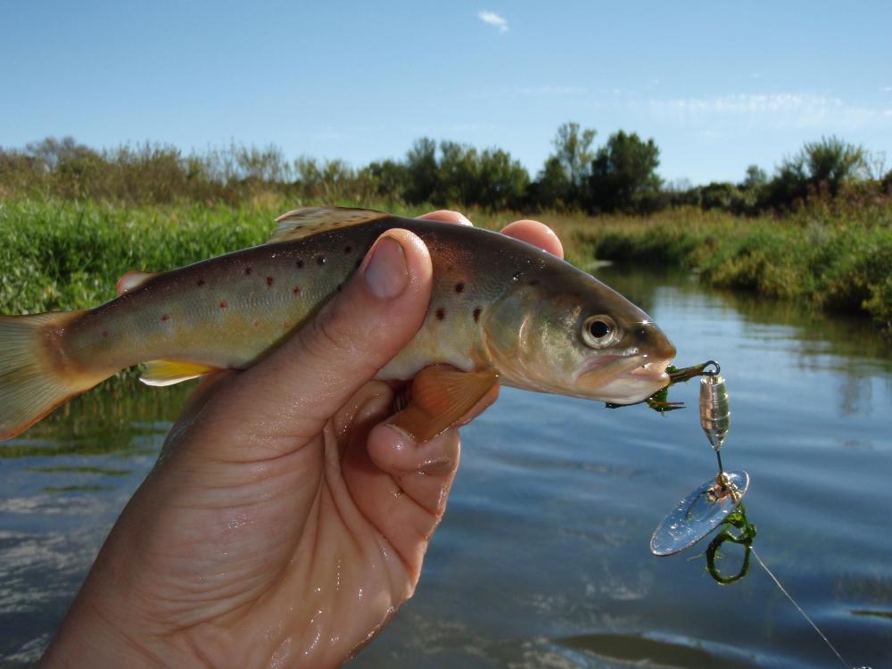 Black Earth Creek Brown Trout