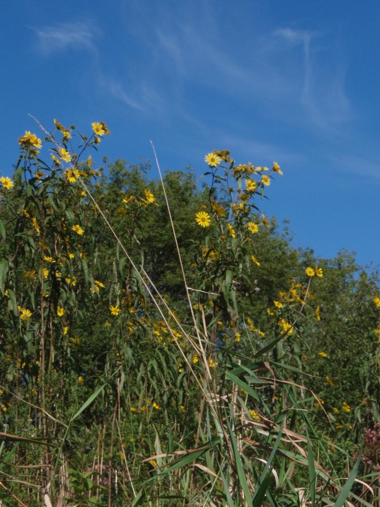 Helianthus divaricatus (Woodland Sunflower) on Black Earth Creek