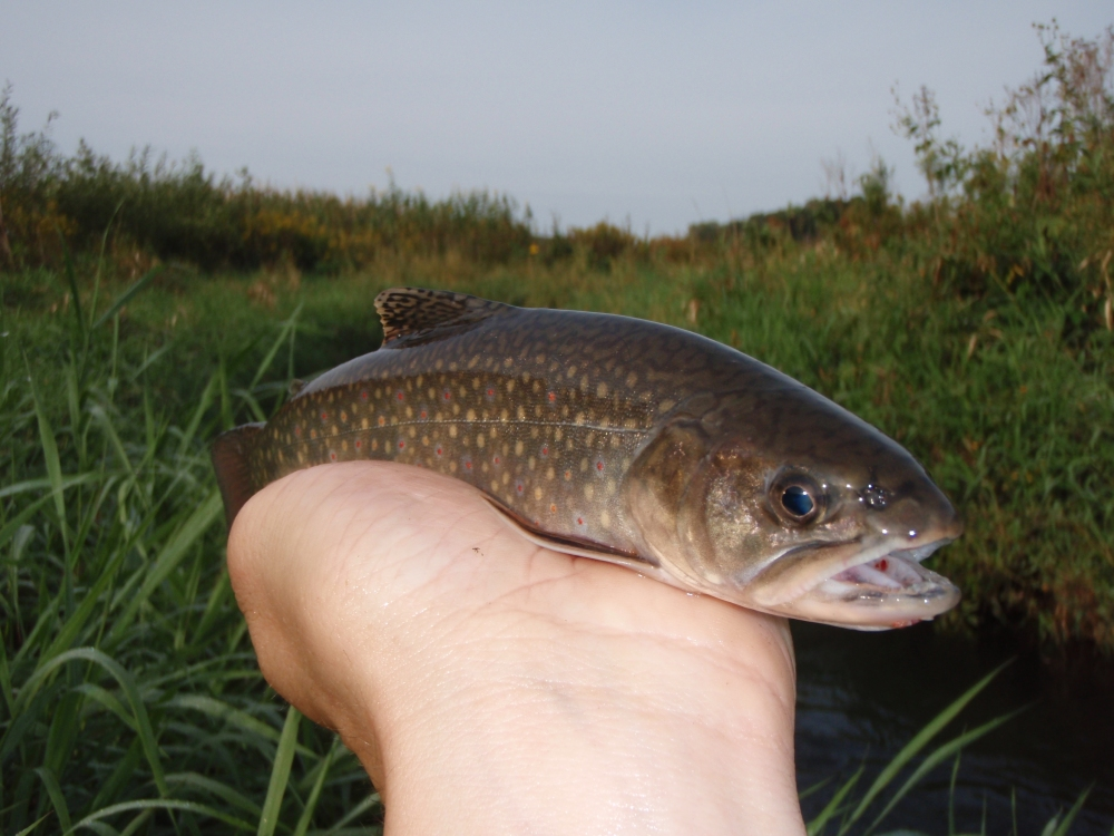 West Branch Sugar River (WBSR) Brook Trout (#2)
