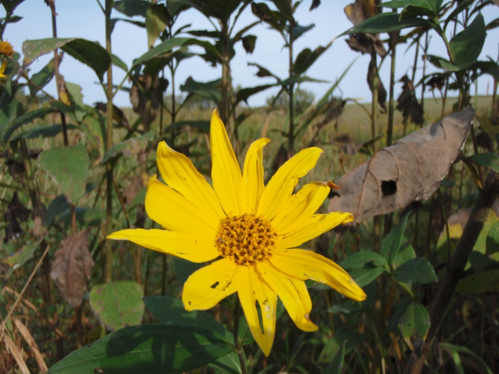 Creekside Woodland Sunflower
