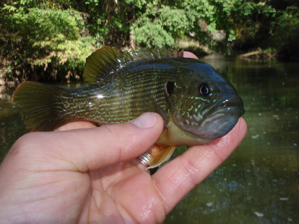 Is this a Green Sunfish?