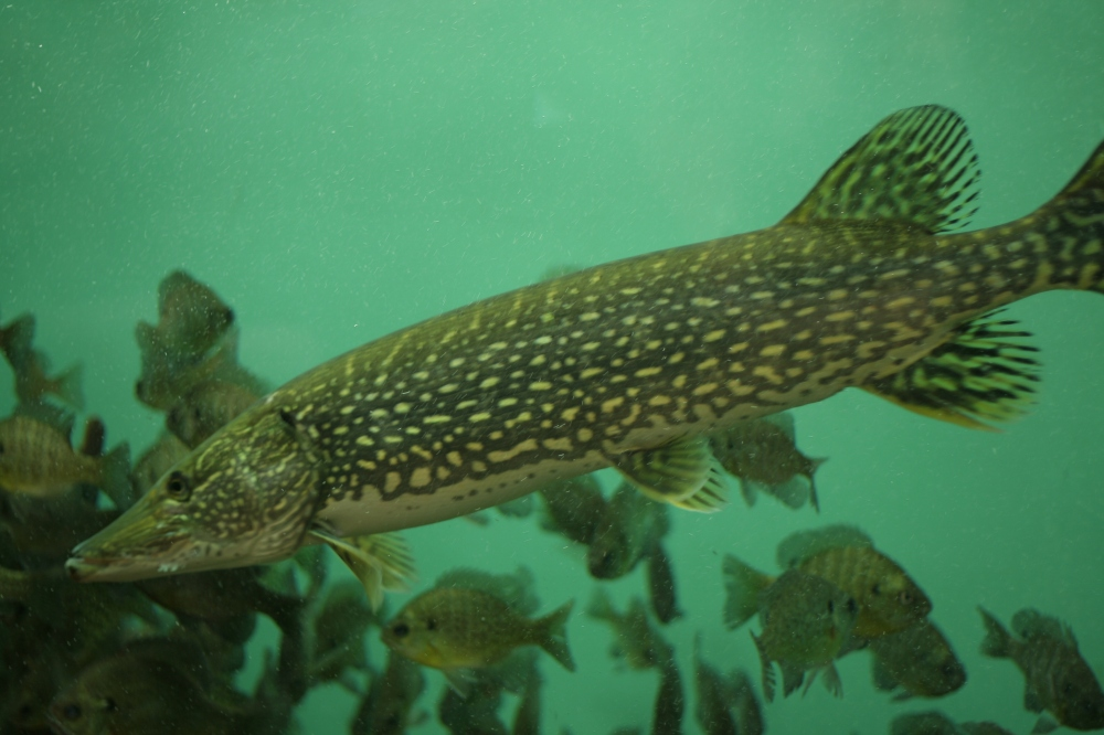 A well-fed Pike