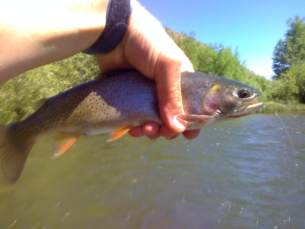 12-Inch Flat Creek Cutthroat, Jackson, WY