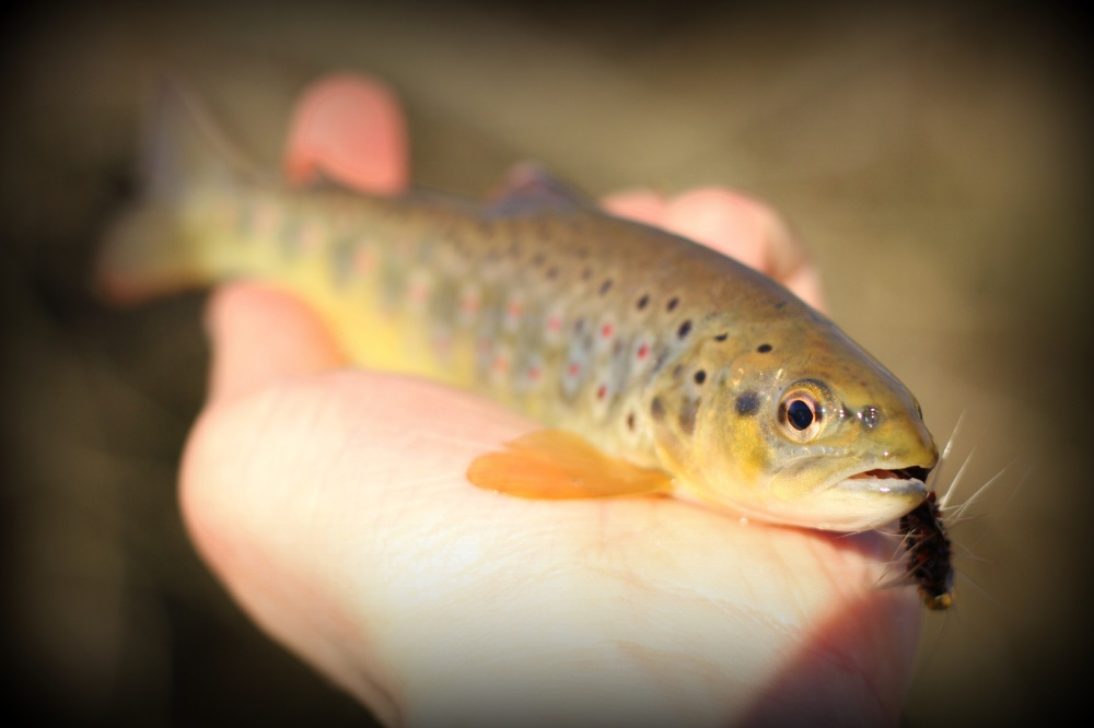 Brown on a Wooly Bugger