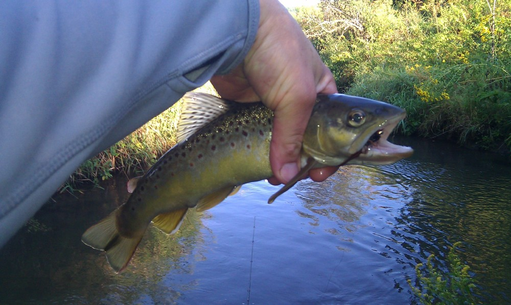 Elvers Creek Brown Trout