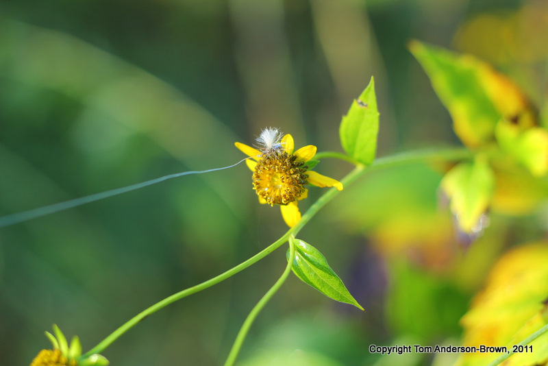This flower is every fly fisherman's nightmare (Black-Eyed Susan)