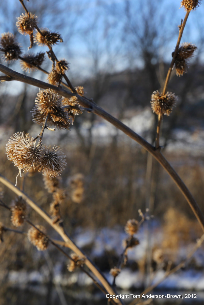Frozen Arctium Minus, Driftless, Wisconsin