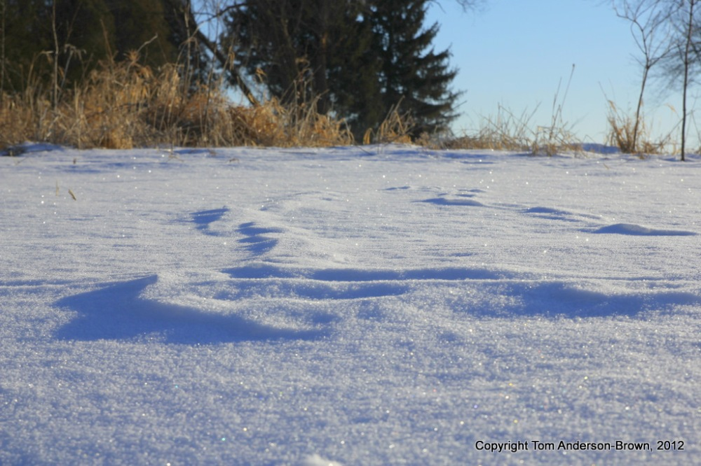 Windblown tracks, glittering snow, Driftless, Wisconsin