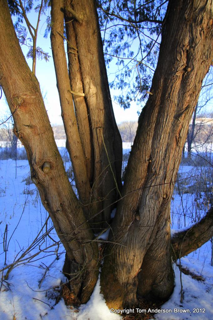 Cedars lit by sunlight reflected off the creek, Driftless, Wisconsin