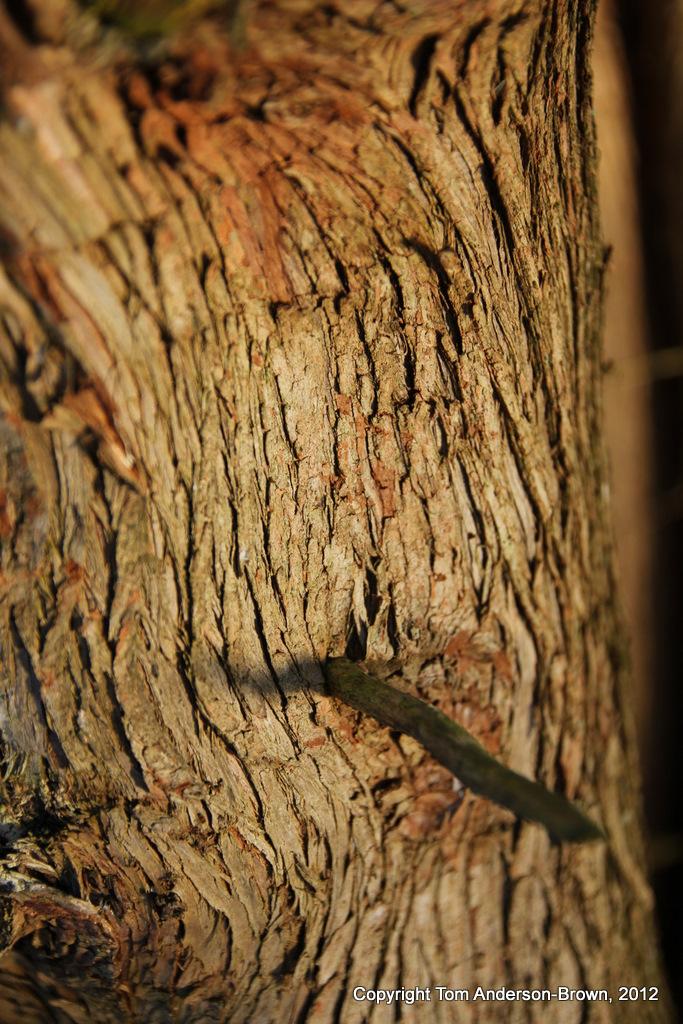 Cedar bark in the light of a January sunrise, Driftess, Wisconsin