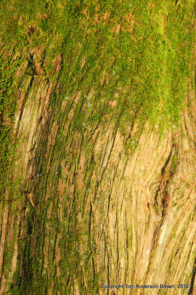 Another world lives on the bark of this Cedar, Driftless, Wisconsin