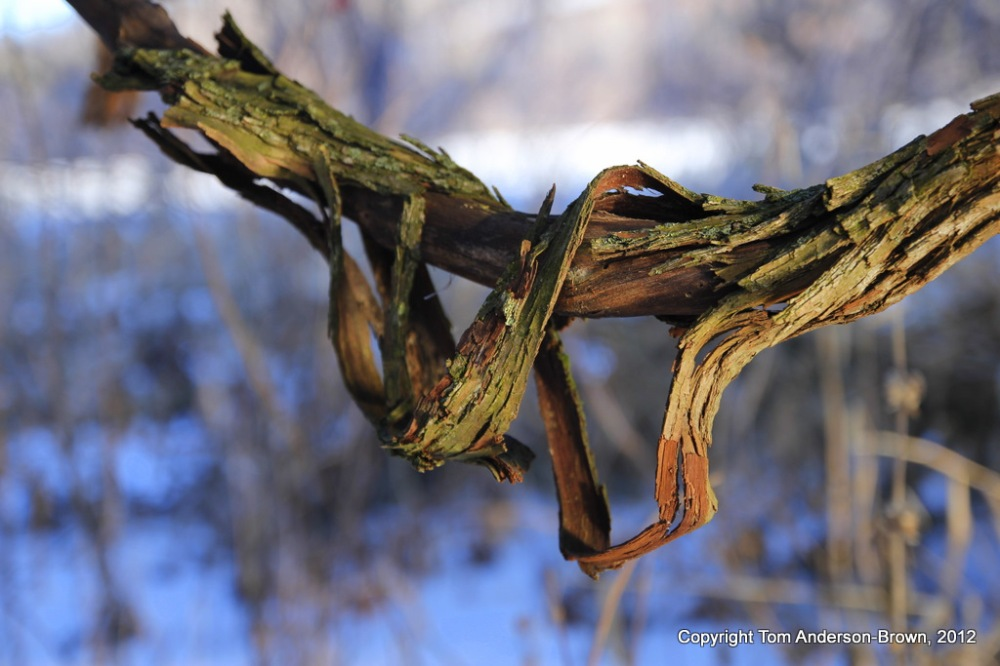 A woody forest vine, Driftless, Wisconsin