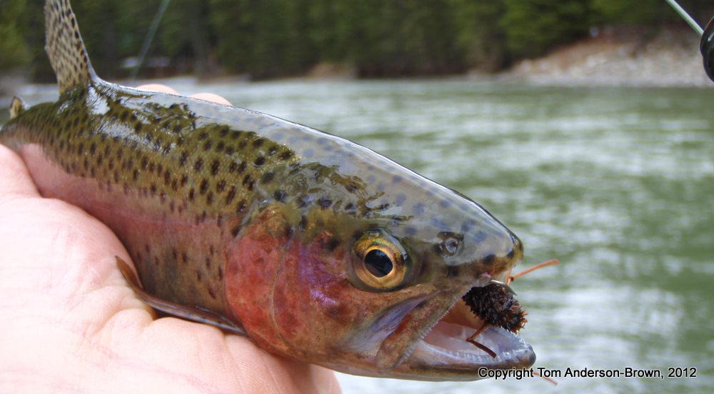 Gallatin River Rainbow, Montana
