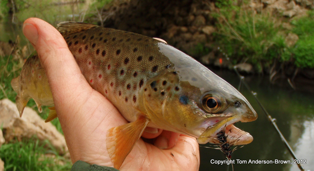 Oh, so that's what a Brown Trout is supposed to look like...