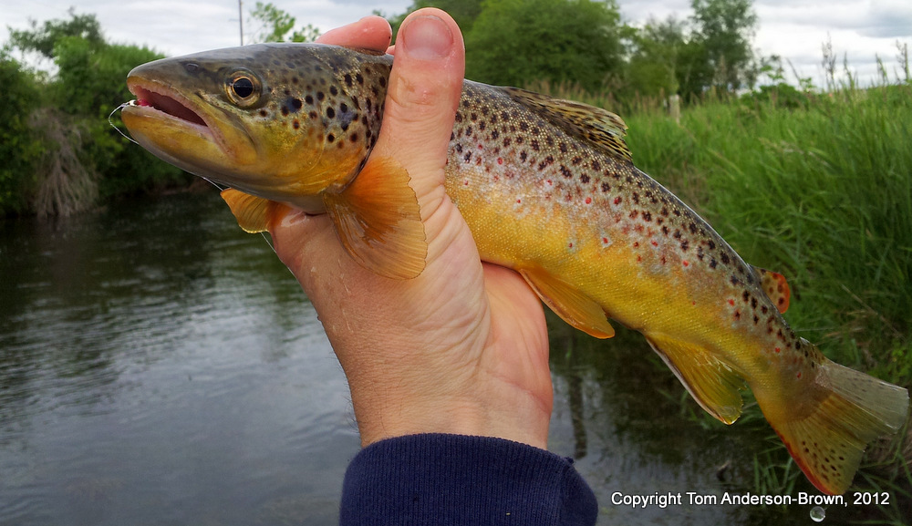 The nicest of the three Browns I caught yesterday during an hour on Black Earth Creek