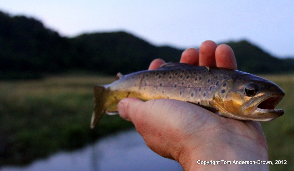 Camp Creek Brown Trout, near Viola, Wisconsin