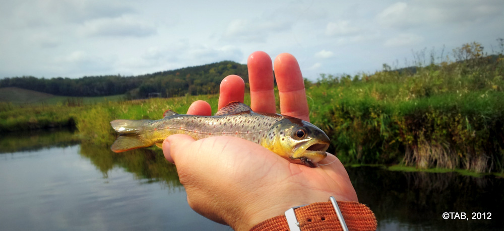 Black Earth Creek Brown Trout, September 2012