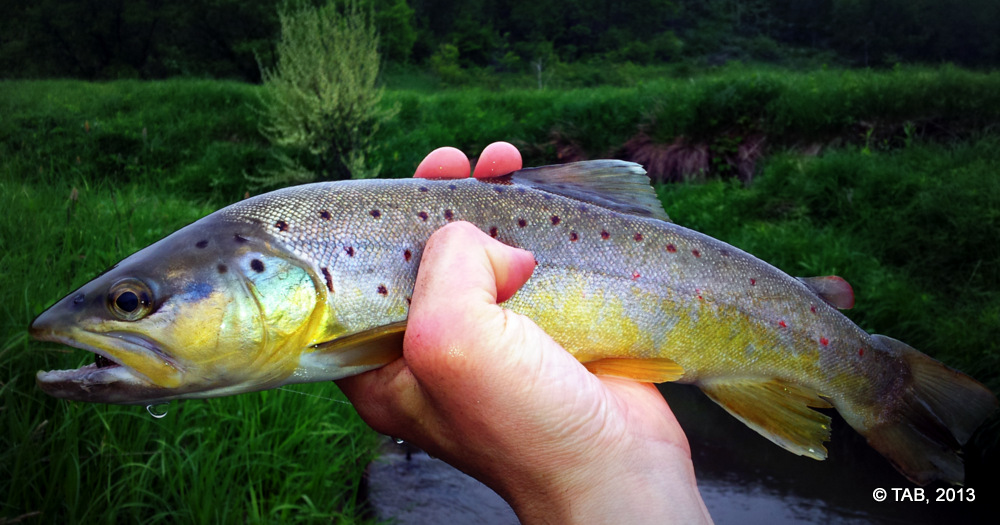 a Sixteen Inch Brown from Trout Creek