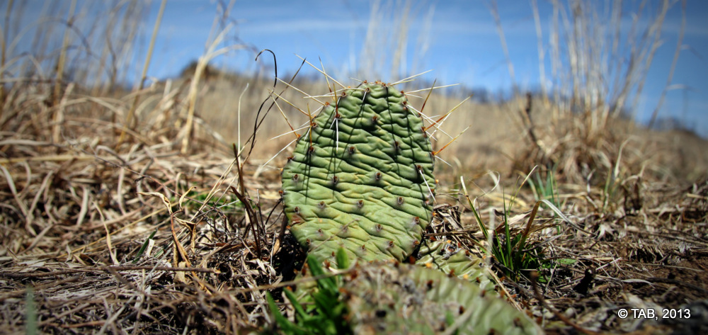 Prickly Pear Cactus, Spring Green Prairie