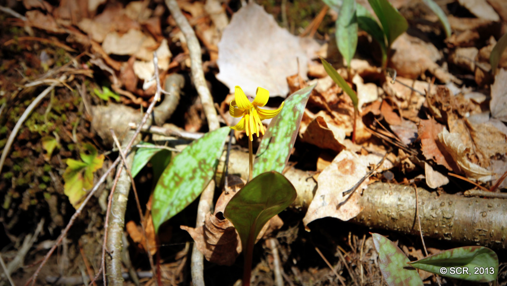 A wildflower at Otter Creek
