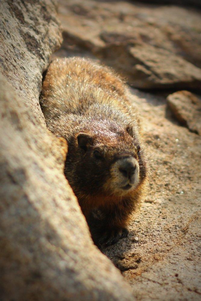 Heron's marmot, photo 1, East Rosebud Trail