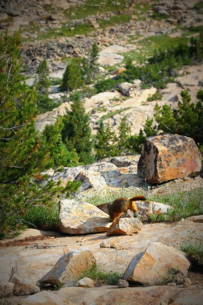 The marmots ducked for cover when a hawk was spotted overhead. East Rosebud Trail
