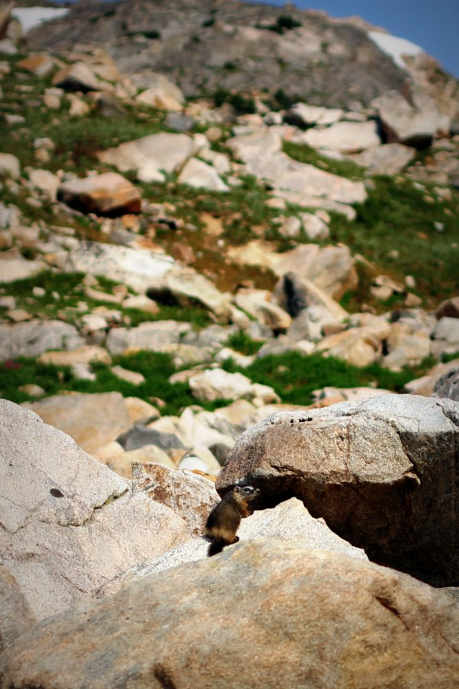 A baby marmot at Fossil Lake, East Rosebud Trail