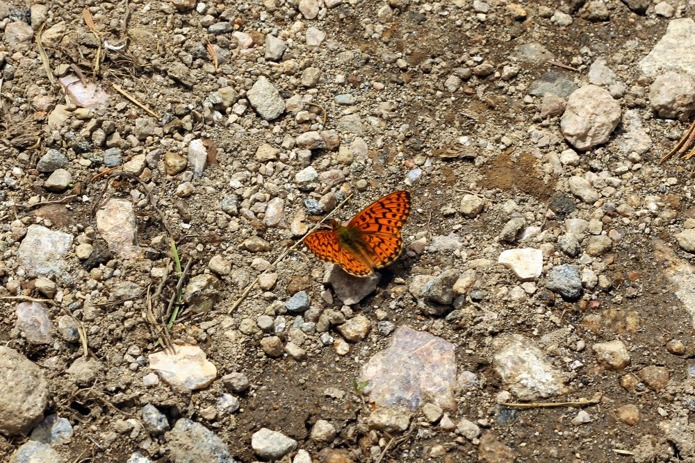A lovely butterfly near Russel Creek, East Rosebud Trail