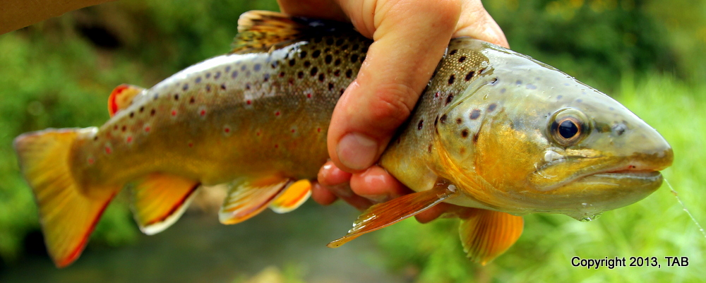 A bruiser Brown Trout from a Wisconsin Driftless stream
