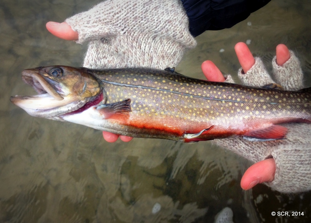 A nice-sized Driftless Brook Trout, suffering from fin rot, me thinks.